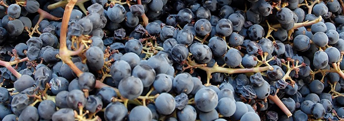 Freshly Harvested Red Wine Grapes
